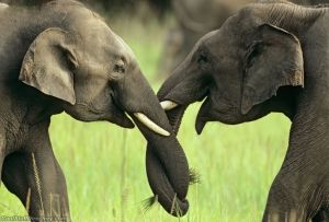 Elephants greeting