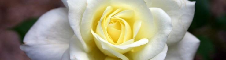 rose for blog GMM april 28